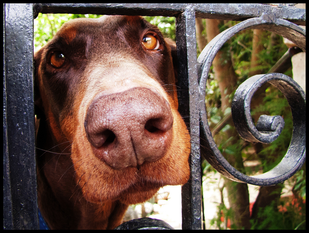 A dog behind a fence looking into the camera.